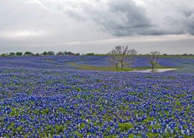 blue-bonnets